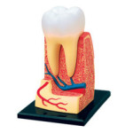 Модель зуба